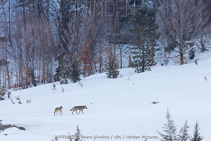 Wild Apennine wolf (Canis lupus italicus) adults patrolling mountain territory. Italian endemic subspecies. Central Apennines, Abruzzo, Italy. March 2015.