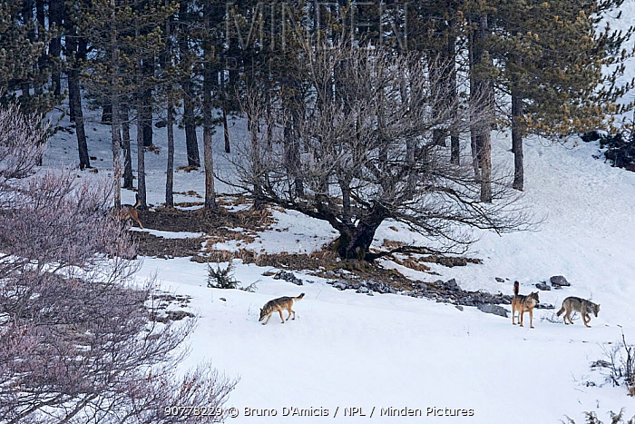 Wild Apennine wolf (Canis lupus italicus) adults patrolling mountain territory .Central Apennines, Abruzzo, Italy. March.  Italian endemic subspecies.
