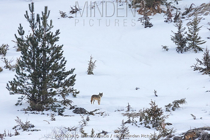 Wild Apennine wolf (Canis lupus italicus) in snowy landscape. Central Apennines, Abruzzo, Italy. March. Italian endemic subspecies.