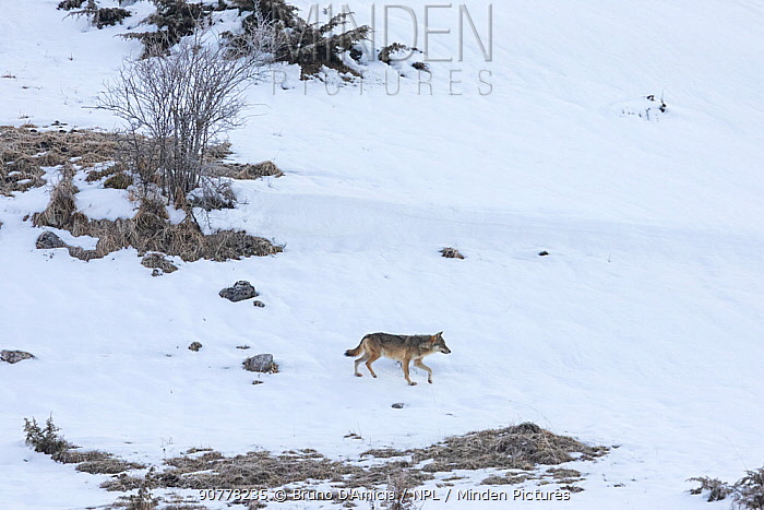 Wild Apennine wolf (Canis lupus italicus) moving on snowy landscape. Central Apennines, Abruzzo, Italy. March. Italian endemic subspecies.