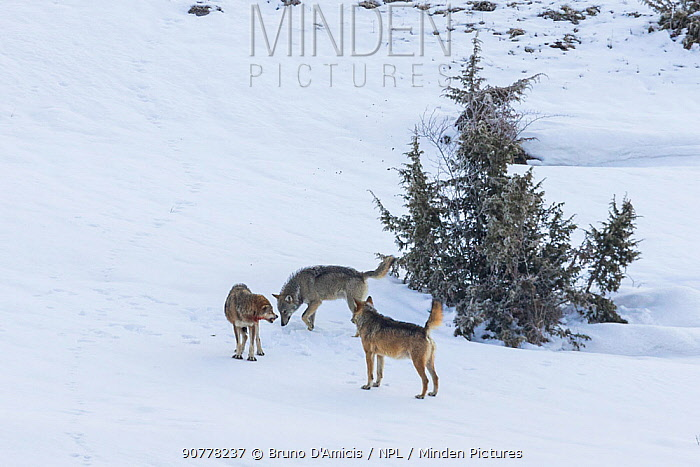 Wild Apennine wolf (Canis lupus italicus), two resident wolves approaching intruder in their territory. Italian endemic subspecies. Central Apennines, Abruzzo, Italy. March. Sequence 2 of 16