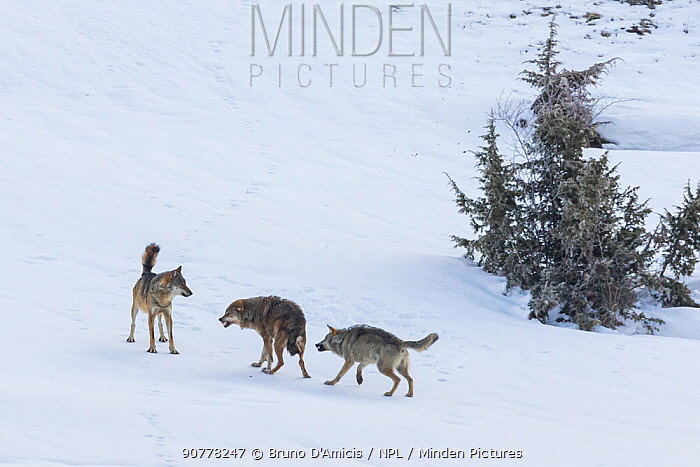 Wild Apennine wolf (Canis lupus italicus), two resident wolves attack intruder in their territory.  Central Apennines, Abruzzo, Italy. March. Italian endemic subspecies. Sequence 12 of 16