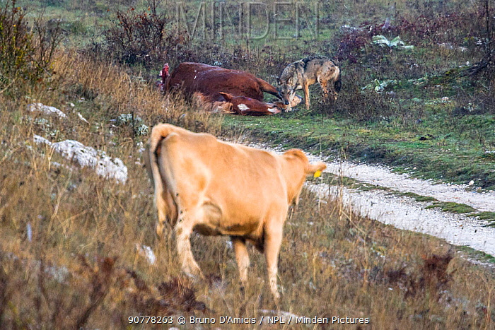Domestic cow  looking at Apennine / Italian wolf (Canis lupus italicus) adult male feeding on horse carcass. Abruzzo, Central Apennines, Italy. November.