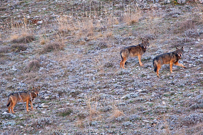 Apennine / Italian wolf (Canis lupus italicus) pack of three walking on mountain slope. Abruzzo, Central Apennines, Italy
