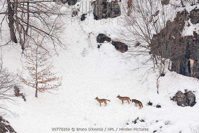 Wild Apennine wolf (Canis lupus italicus) adults on snowy mountain slope. Italian endemic subspecies. Central Apennines, Abruzzo, Italy. February..
