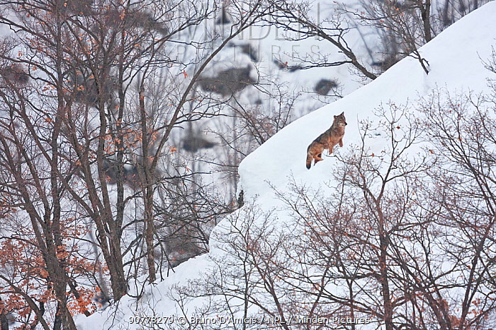 Wild Apennine wolf (Canis lupus italicus) adult climbing snowy mountain slope.  Central Apennines, Abruzzo, Italy. February. Italian endemic subspecies.