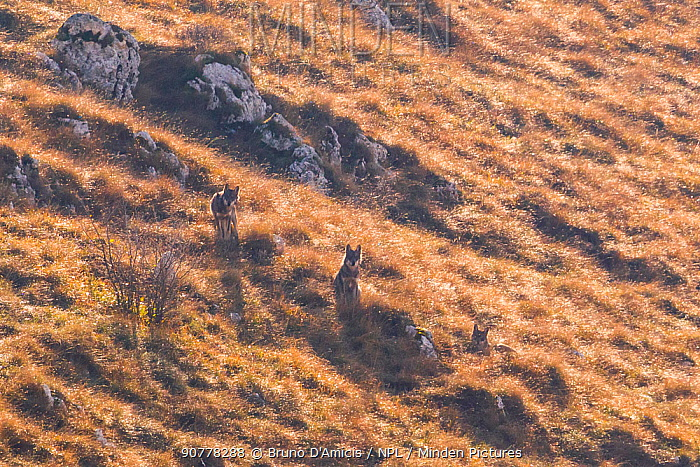 Wild Apennine wolves (Canis lupus italicus) resting among dry grass on a mountain slope in autumn. Central Apennines, Abruzzo, Italy. November. Italy endemic subspecies.
