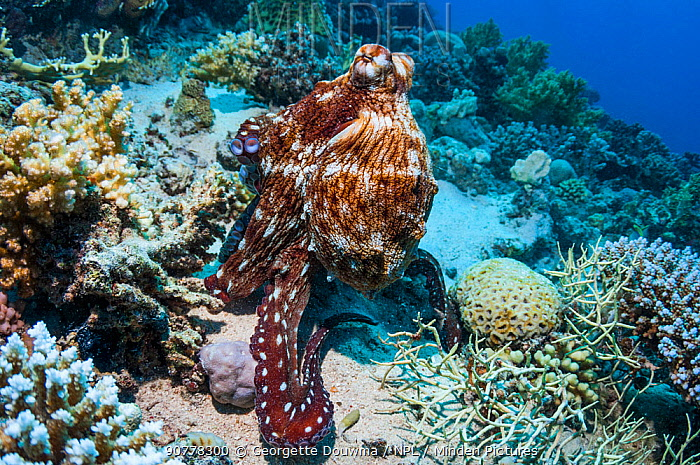Day octopus (Octopus cyanea), Red Sea, Egypt. January.