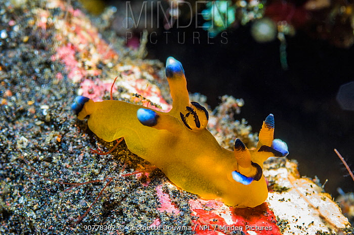 Nudibranch (Thecacera pacifica), West Papua, Indonesia. December.