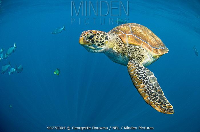 Green turtle (Chelonia mydas] swimming in open ocean, Andaman Sea, Thailand. April.