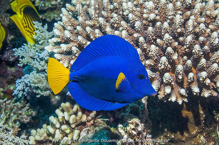 Yellowtail tang or Yellowtail surgeonfish (Zebrasoma xanthurum), Red Sea, Egypt. January.