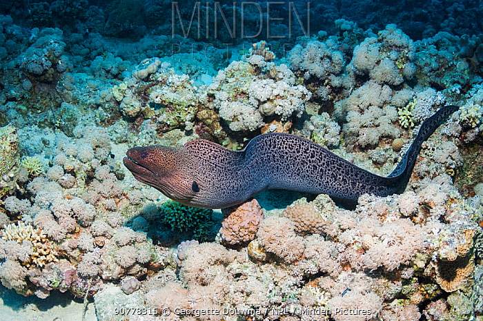 Giant moray eel (Gymnothorax javaniucus) hunting over coral reef,  Red Sea, Egypt. January.