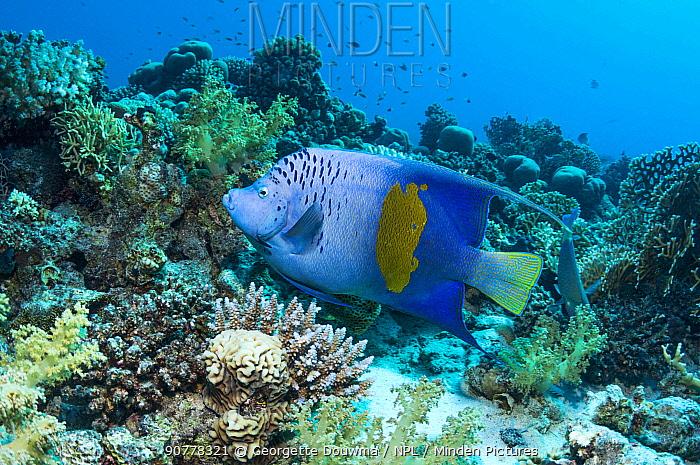 Yellowbar angelfish (Pomacanthus maculosus).  Red Sea, Egypt. January.