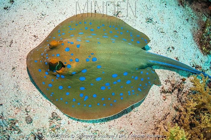 Bluespotted ribbontail ray (Taeniura lymna), Red Sea, Egypt. January.