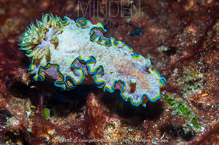 Nudibranch (Glossodoris ciincta),  Lembeh Strait, North Sulawesi, Indonesia. December.
