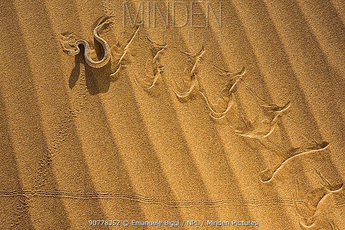 Peringuey's adder (Bitis peringueyi) sidewinding in Namib desert, Namibia.