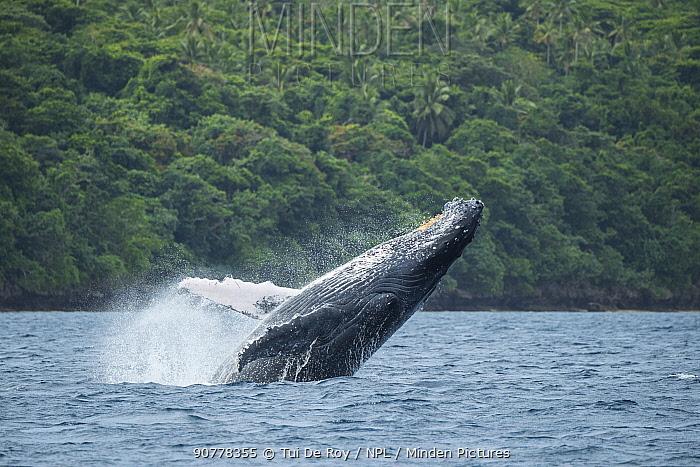 Breaching Humpback whale (Megaptera novaeangliae) breaching,  Vava'u, Tonga.