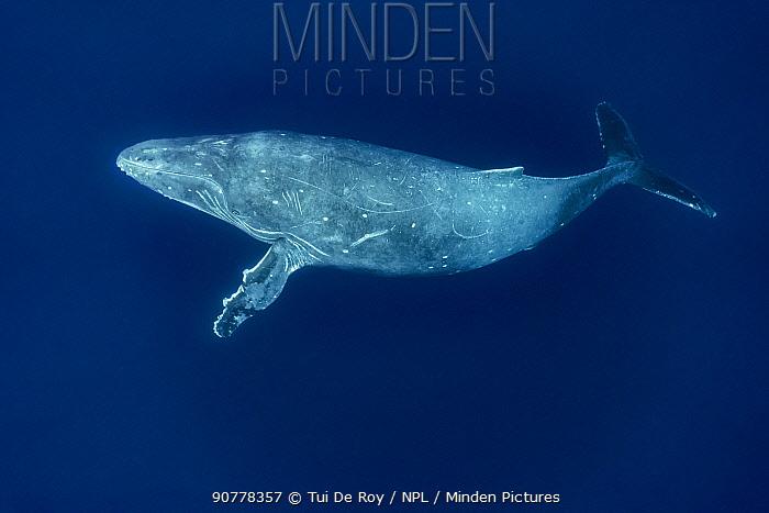 Humpback whale (Megaptera novaeangliae) Vava'u, Tonga.
