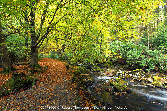 Footpath in woodland beside the Shimna River, Tollymore Forest Park,  County Down, Northern Ireland, October.