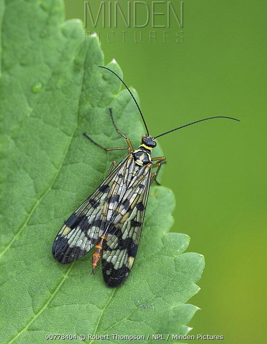 Scorpion fly (Panopra communis) Semogo village, Alps, Italy, June.