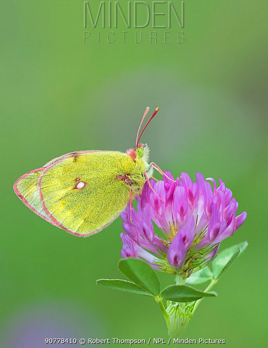 Mountain clouded butterfly (Colias phicomone) on clover flower, Stelvo Pass, Alps, Italy, June.