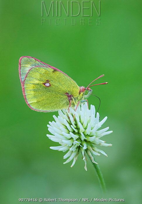 Mountain clouded yellow butterfly (Colias phicomone) Bormio & St Caterina, Alps, Italy, June.