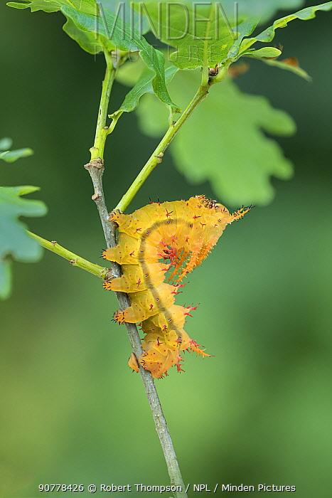 Saturniid moth (Eacles ormondei) caterpillar, Izabal, Guatemala, Central America