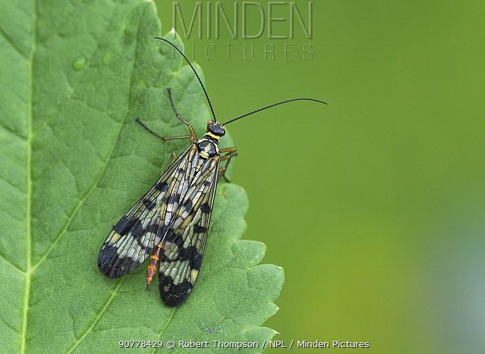 Scorpion fly (Panorpa communis) Semogo village, Alps, Italy, June.