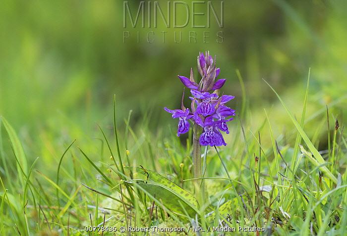 Alpine Dactylorhiza orchid  (Dactylorhiza alpestris) flower, St Caterina di Valfurva, Alps, Italy, June.