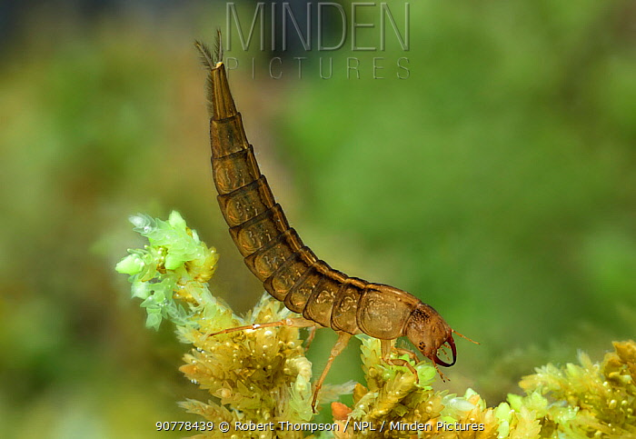 Great diving beetle (Dytiscus marginalis) larva, Montiaghs Moss NNR, County Antrim, Ireland,