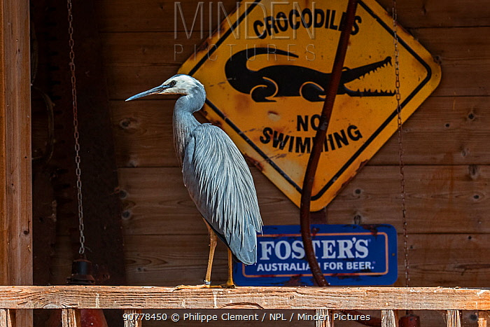 White-faced heron / white-fronted heron (Egretta novaehollandiae) perched on porch of house, native to New Zealand and Australia, captive