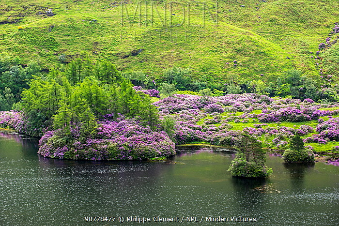 Common rhododendrons (Rhododendron ponticum) in flower along Loch Etive, invasive species in the Scottish Highlands, Scotland, UK, May