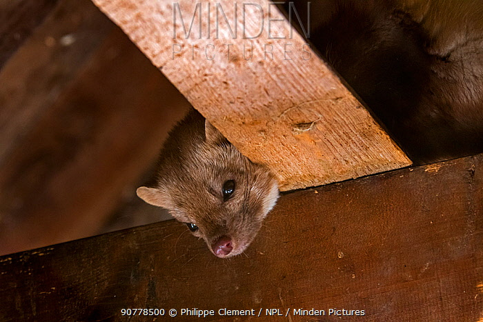 Beech marten  (Martes foina) foraging on beams in ceiling of attic, Germany, captive