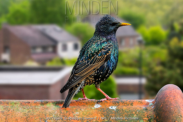 Common starling / European starling (Sturnus vulgaris) male perched on roof tile of house, digital composite