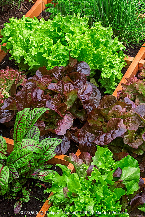Square foot garden showing different species of lettuce, herbs and vegetables in wooden box, April