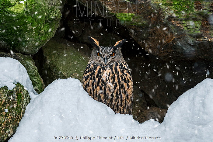 Eurasian eagle owl (Bubo bubo) sitting on rock ledge in cliff face during snow shower in winter, Bavarian Forest, Germany, captive, January
