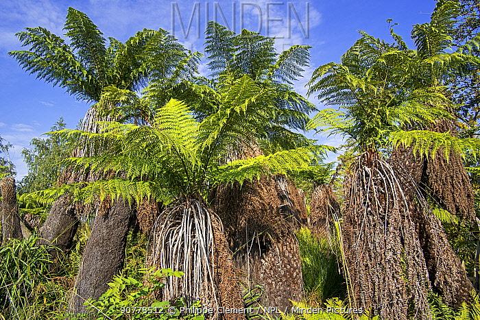 Soft tree ferns / Man ferns (Dicksonia antarctica) evergreen tree fern native to eastern Australia