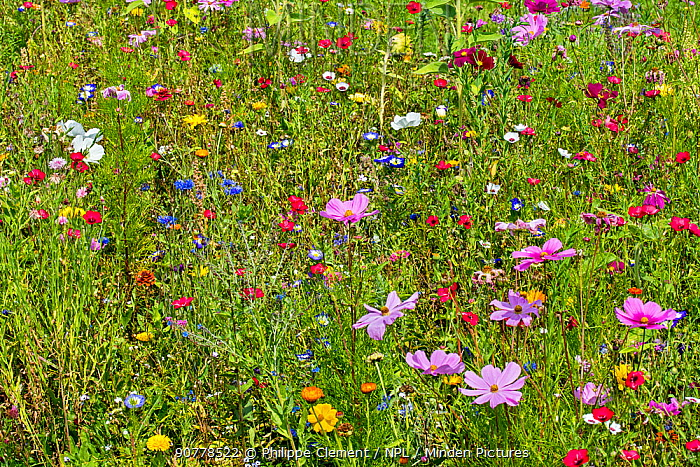 Mixture of colourful wildflowers in wildflower zone bordering meadow, especially planted to attract and help bees, butterflies and other pollinators, Luxembourg, August