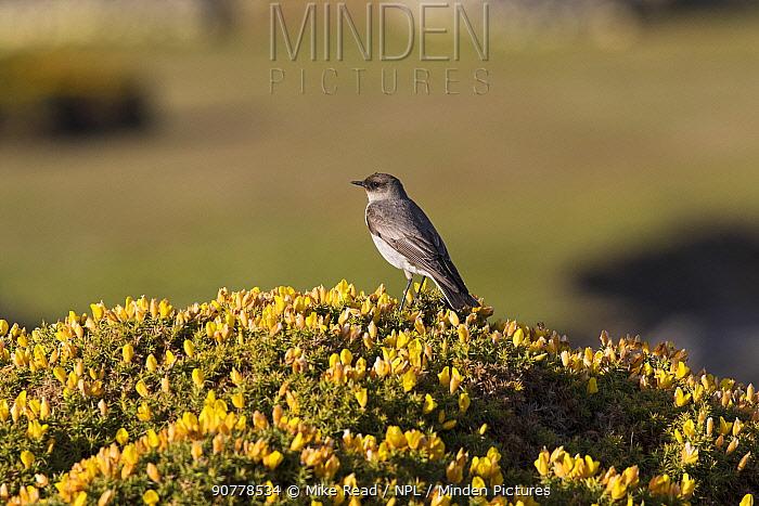 Dark-faced ground-tyrant (Muscisaxicola maclovianus maclovianus) perched on Gorse (Ulex Europaeus) Darwin, Falkland Islands, November.