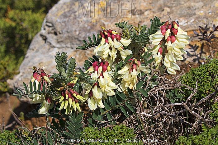 Milkvetch (Astragalus lusitanicus) flowers,  Cap St Vincent Algarve Portugal, February.