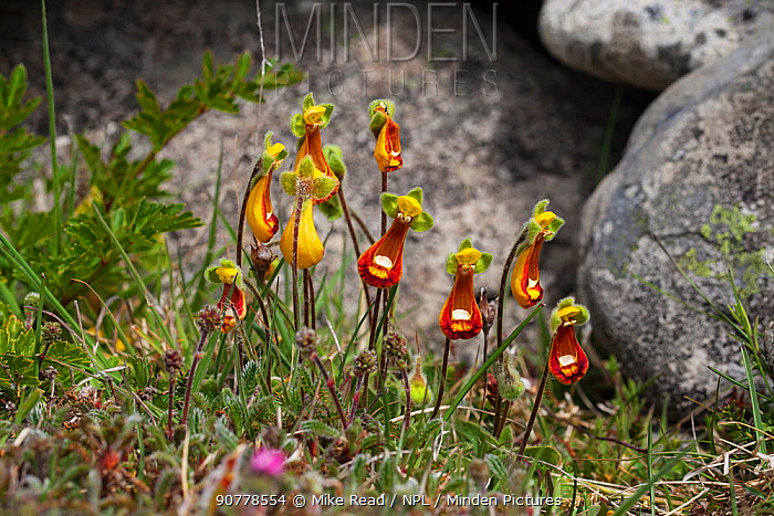 Lady's slipper flowers (Calceolaria fothergillii) group growing beside rocks, Bleaker Island, Falkland Island, November.