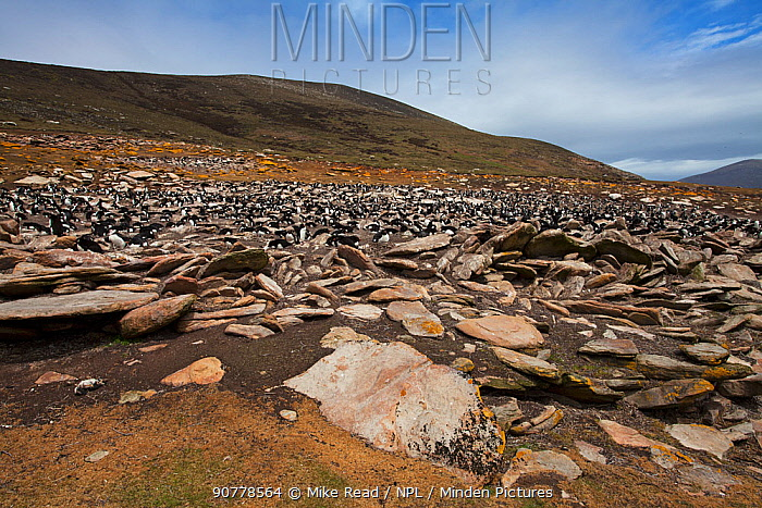 Lichen covered rocks with Rockhopper penguin (Eudyptes chrysocome) and Imperial shag (Phalacrocorax atriceps albiventer) colony beyond Saunders Island, Falkland Islands, November.