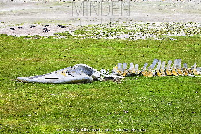 Skeleton of a whale with Gentoo penguin (Pygoscelis papua) colony beyond Saunders Island, Falkland Islands, November 2015