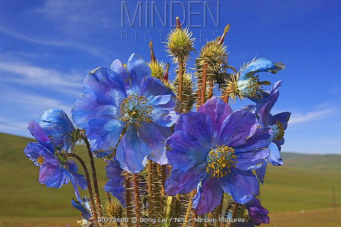 Blue poppy (Meconopsis horridula)  Sanjiangyuan National Nature Reserve, Qinghai Hoh Xil UNESCO World Heritage Site, Qinghai-Tibet Plateau, Qinghai Province, China.