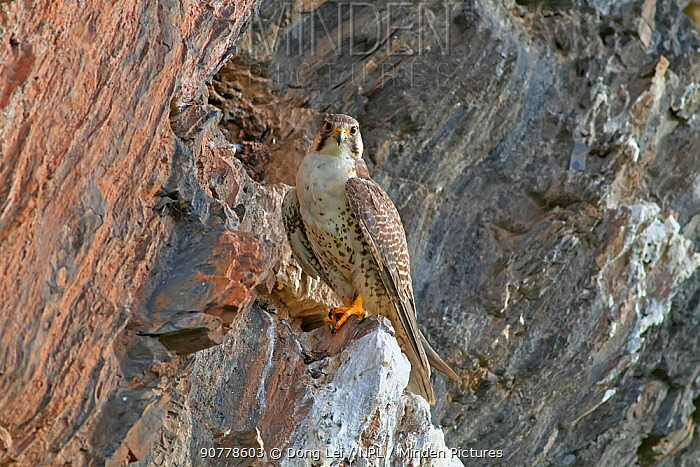 Saker Falcon (Falco cherrug) perched on rocks,  Sanjiangyuan National Nature Reserve, Qinghai Hoh Xil UNESCO World Heritage Site, Qinghai-Tibet Plateau, Qinghai Province, China.