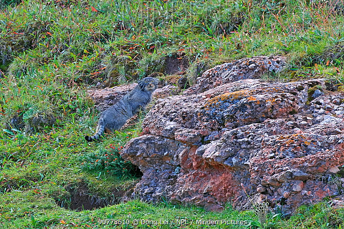 Pallas's cat (Otocolobus manul) Sanjiangyuan National Nature Reserve, Qinghai Hoh Xil UNESCO World Heritage Site, Qinghai-Tibet Plateau, Qinghai Province, China.