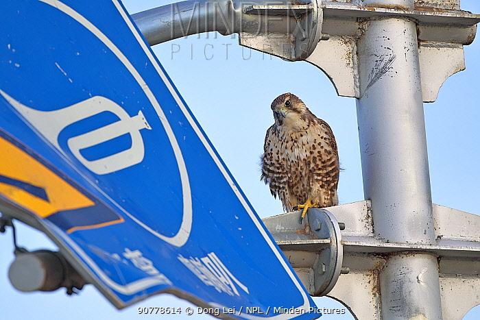 Saker falcon (Falco cherrug) perched on sign, Sanjiangyuan National Nature Reserve, Qinghai Hoh Xil UNESCO World Heritage Site, Qinghai-Tibet Plateau, Qinghai Province, China.