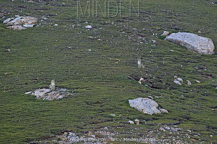Snow leopards (Panthera uncia) resting on hillside, Sanjiangyuan National Nature Reserve, Qinghai Hoh Xil UNESCO World Heritage Site, Qinghai-Tibet Plateau, Qinghai Province, China.