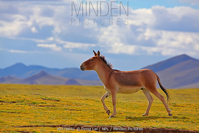 Kiang (Equus kiang) walking, Sanjiangyuan National Nature Reserve, Qinghai Hoh Xil UNESCO World Heritage Site, Qinghai-Tibet Plateau, Qinghai Province, China.