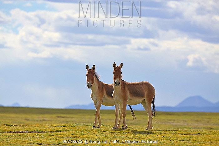 Kiang (Equus kiang) two standing side by side, Sanjiangyuan National Nature Reserve, Qinghai Hoh Xil UNESCO World Heritage Site, Qinghai-Tibet Plateau, Qinghai Province, China.